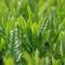 Organic green tea made in Kagoshima reduces leukemia virus