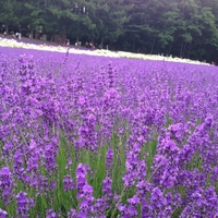 The dark lilac of the lavender brings the relaxation effect to people