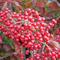 """青森県で収穫される小さな赤い果実""""ガマズミ""""はポリフェノールの宝庫!"""